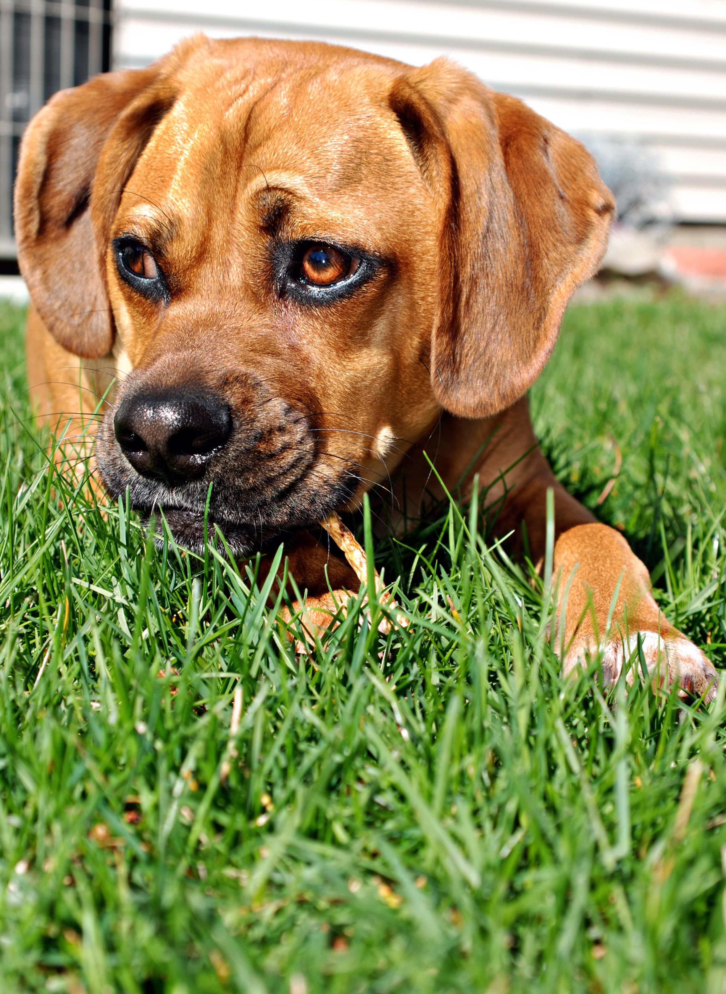 Small Dog Eats Mulch