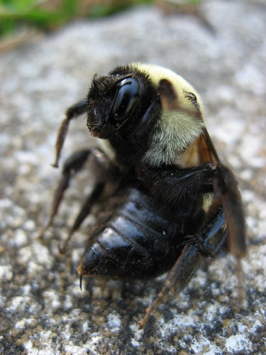 Dead Bumble Bee