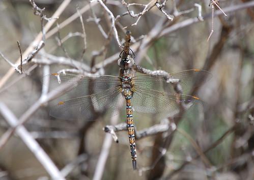 arizona nature animal yard insect dragonfly wildlife sonoran maderacanyon