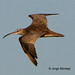 Whimbrel - Photo (c) Jorge Montejo, some rights reserved (CC BY-NC-SA)