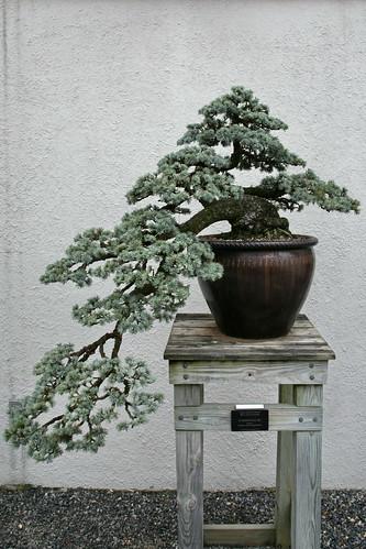 Blue Atlas Cedar (Cedrus atlantica) 'Glauca'
