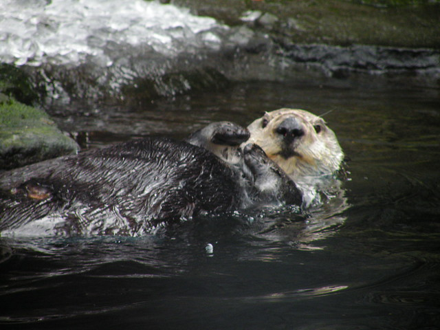 sea otter research paper Email: jbodkin@usgsgov inter-research 2012 wwwint-rescom long-term effects of the 'exxon valdez' oil spill: sea otter foraging in the intertidal as a pathway.