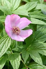 blossom(0.0), shrub(0.0), rosa rubiginosa(0.0), produce(0.0), rosa rugosa(0.0), flower(1.0), leaf(1.0), rosa gallica(1.0), plant(1.0), flora(1.0), rosa acicularis(1.0), petal(1.0),