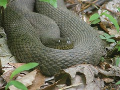 animal, serpent, snake, reptile, grass snake, fauna, scaled reptile,