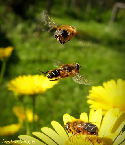 flower macro green nature yellow canon suomi finland insect maria flight images sue hoverfly kesä kerimäki luonto laakso kukka hyönteinen insectphotography canonpowershota710is marialaakso sue323 laaksoimages