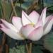 ផ្កាឈូក Lotus