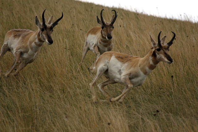 Run antelope, run!