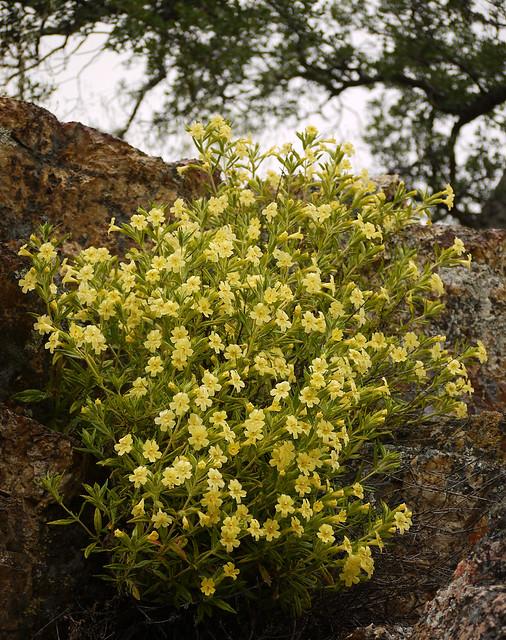 bush monkeyflower - mimulus aurantiacus