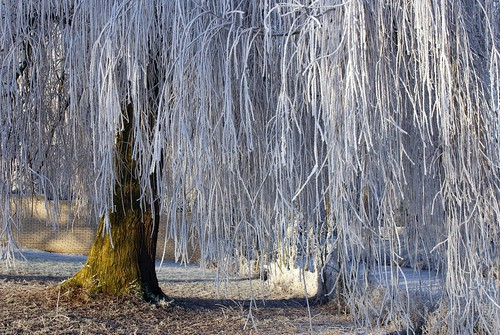 A frosty willow