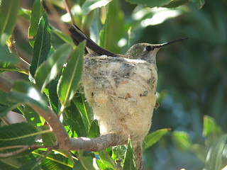 Hummingbird and Her Nest
