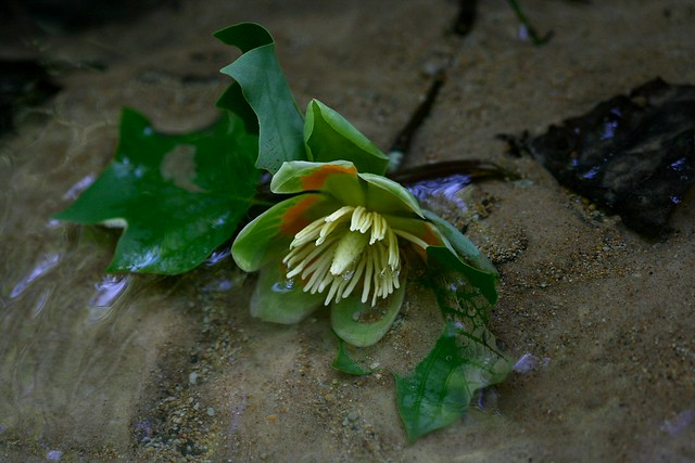Tulip Poplar Bloom