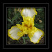 My yellow Iris..... by lonniejean3484 Howdy