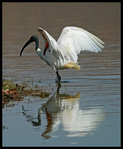 A Black Headed Ibis (Threskiornis melanocephalus) strikes a pose in Ranthambore National Park, India