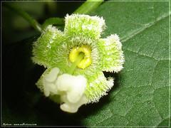 Flor de Tayuya