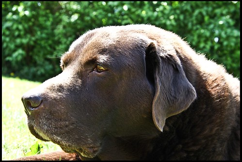 Schokohund