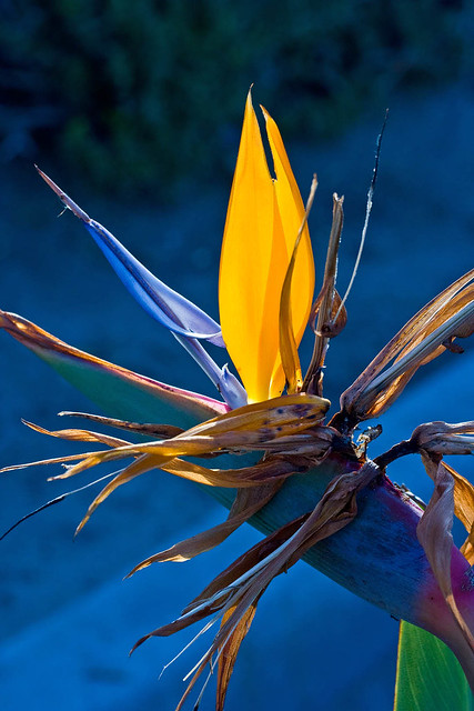 Bird of Paradise Flower_0566.jpg