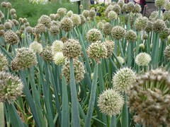 food(0.0), vegetable(1.0), flower(1.0), plant(1.0), welsh onion(1.0), flora(1.0), produce(1.0),