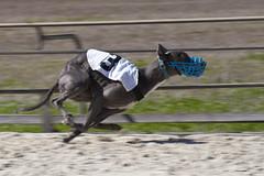 equestrianism(0.0), english riding(0.0), eventing(0.0), stallion(0.0), jumping(0.0), equestrian sport(0.0), jockey(0.0), dog sports(1.0), animal sports(1.0), dog(1.0), greyhound racing(1.0), sports(1.0), race(1.0), pet(1.0), mammal(1.0), greyhound(1.0),