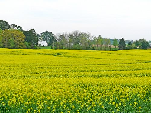 field gold canola fz50 panasoniclumix bkhagar