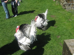 chicken(0.0), rooster(0.0), wild turkey(0.0), turkey(1.0), animal(1.0), domesticated turkey(1.0), bird(1.0),