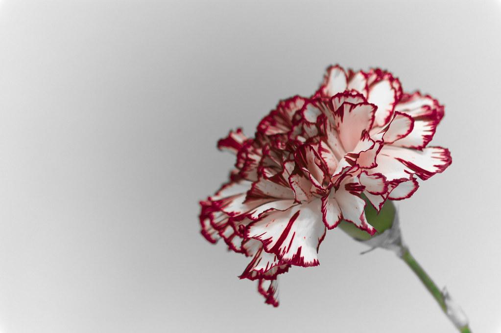 Clavel, Carnation.