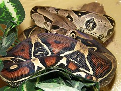 hognose snake(0.0), kingsnake(0.0), animal(1.0), serpent(1.0), snake(1.0), boa constrictor(1.0), reptile(1.0), fauna(1.0), scaled reptile(1.0),