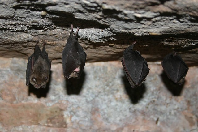 Lesser horseshoe bat (Rhinolophus hipposideros) bats roosting