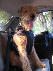 Training your dog to ride in the car