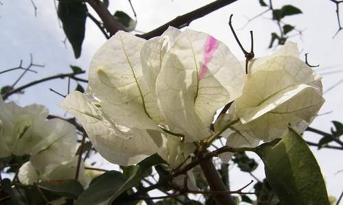 Santa Rita blanca