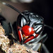 Vampire wasps 3/3 (Synoeca cyanea)