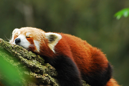 Red Panda @ Mogo Zoo by vincechan06