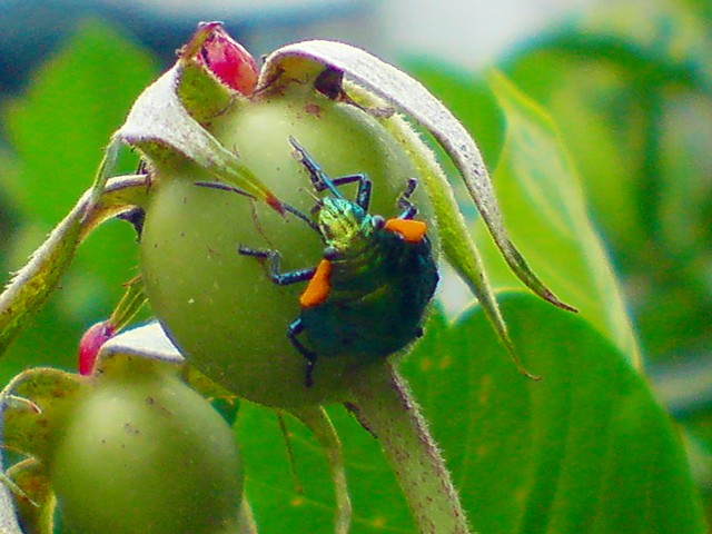 Pachycoris torridus (Scutelleridae), ninfa | Flickr - Photo Sharing!