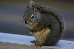 animal, squirrel, fox squirrel, mammal, fauna, close-up, whiskers,