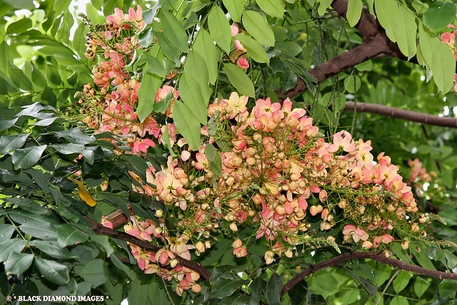 Cassia × nealiae - Rainbow Shower Tree - hybrid between Cassia javanica and Cassia fistula