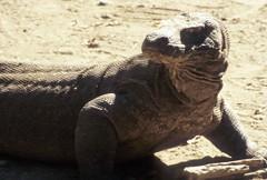animal, reptile, lizard, komodo dragon, fauna, scaled reptile,