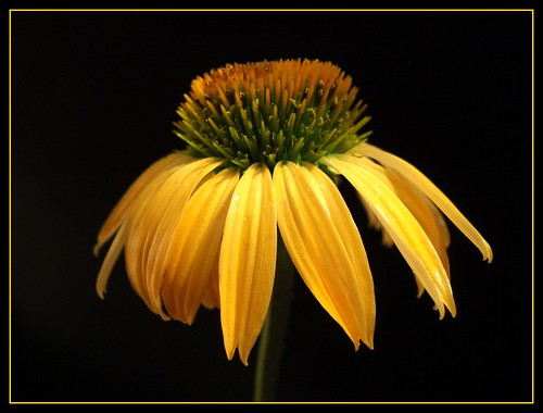 Golden ConeFlower