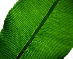 flower(0.0), grass(0.0), plant(0.0), circle(0.0), plant stem(0.0), petal(0.0), leaf(1.0), line(1.0), macro photography(1.0), green(1.0), banana leaf(1.0),