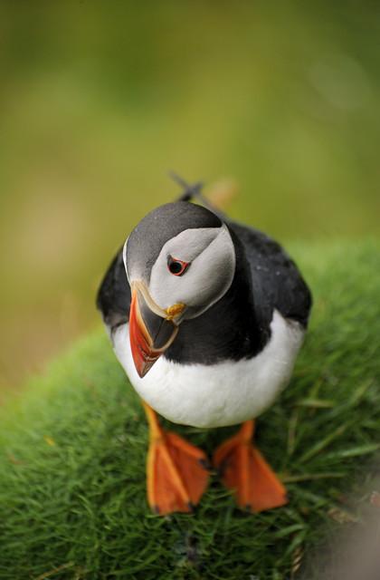 Puffin in Shetland, Scotland UK