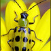 Spotted Cucumber Beetle - Photo (c) Austin Turner, some rights reserved (CC BY-ND)