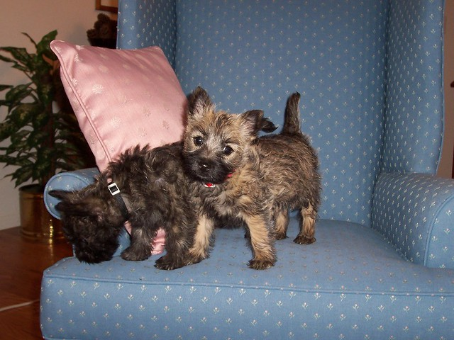 Cairn Terrier Show Dogs