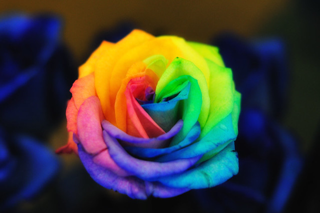 multi colored rose flickr photo sharing
