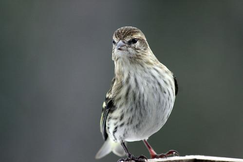 Pine Siskin at my feeder