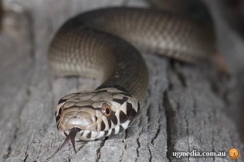 Pale-headed snake (Hoplocephalus bitorquatus) | Flickr ...