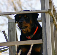 dog, pet, mammal, rottweiler, animal shelter,