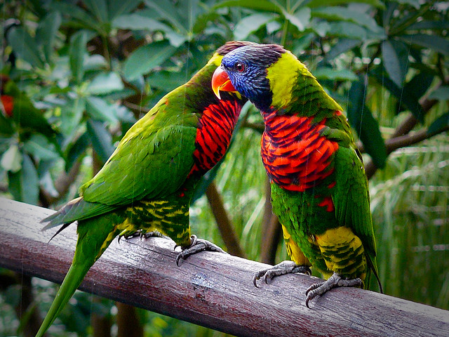 Lory pair in the rain