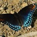 Red-spotted Purple - Photo (c) myiarchus22, some rights reserved (CC BY-NC)