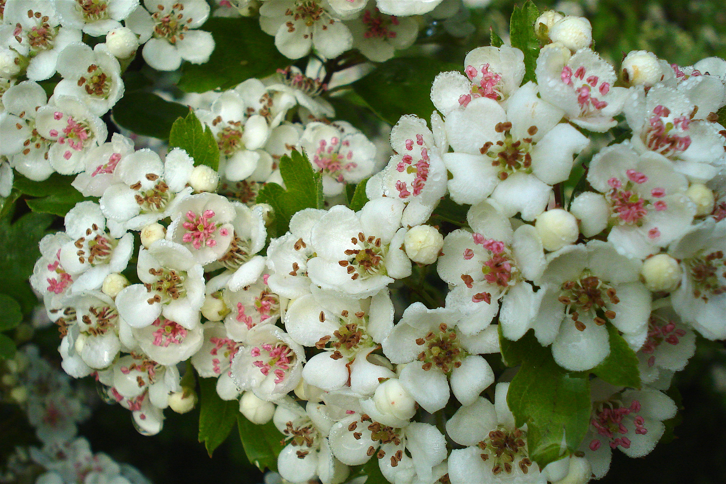Hawthorn Flowers my morning walk with the dog It had r…