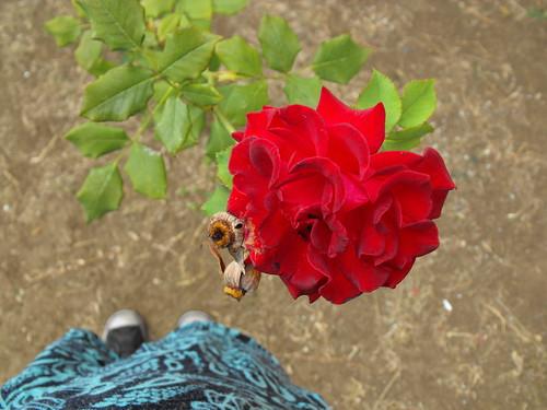 Rosal de mi madre