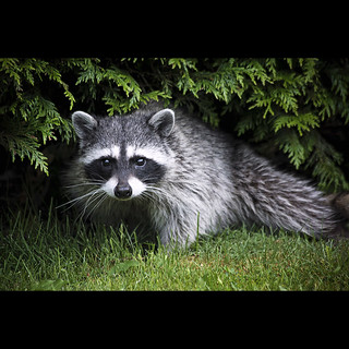 there's a raccoon living in our backyard.