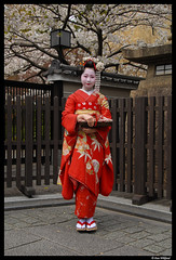 Kyoto geisha under the cherry tree